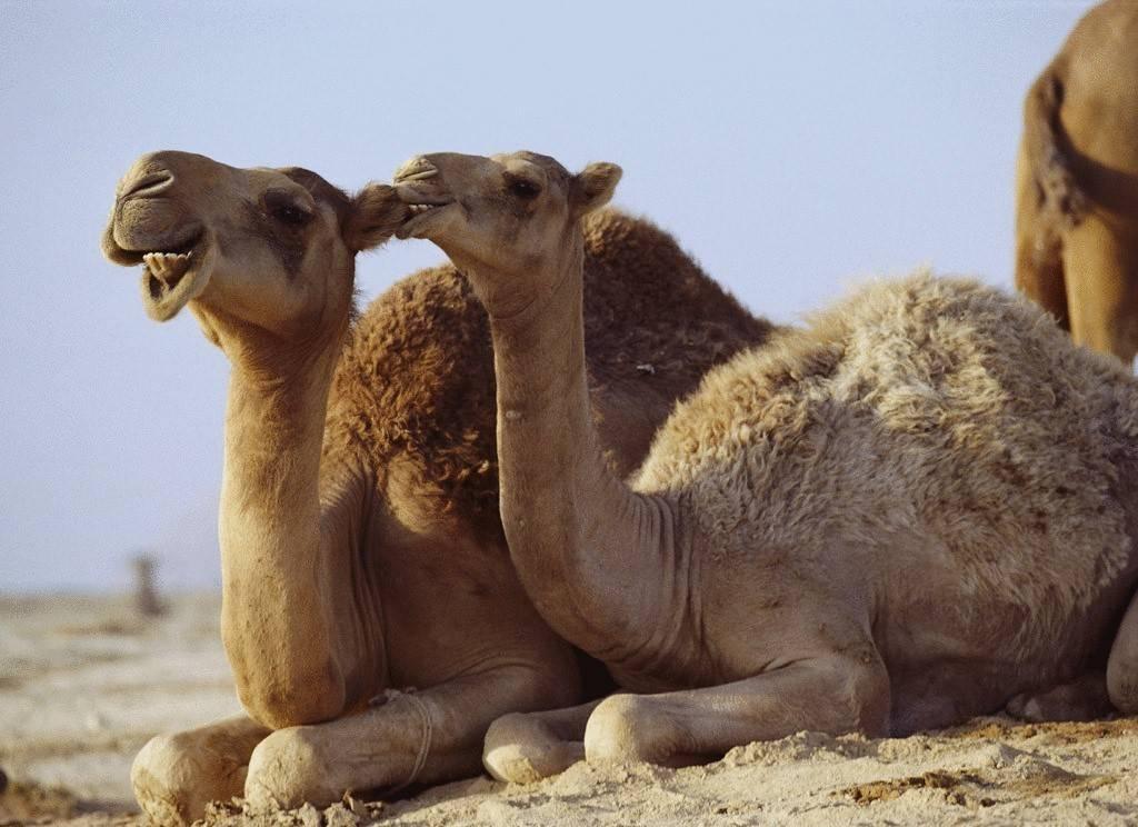 Одногорбый верблюд дромедар дромадер, фото