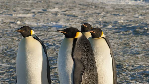 Перья императорского пингвина фото (лат. Aptenodytes forsteri)