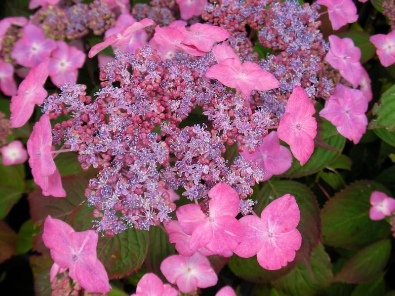 Пильчатая розовая гортензия