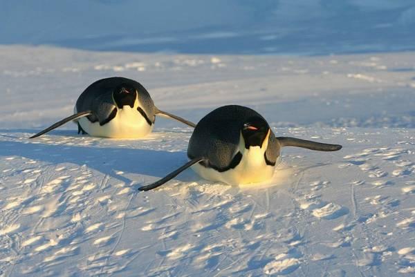 Пингвин передвигается на брюхе фото (лат. Aptenodytes forsteri)