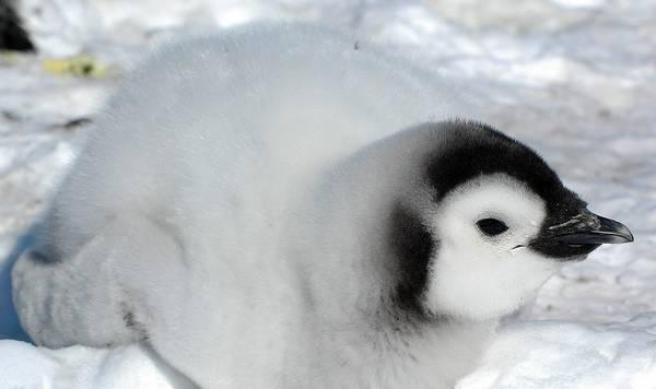 Птенец императорского пингвина фото (лат. Aptenodytes forsteri)