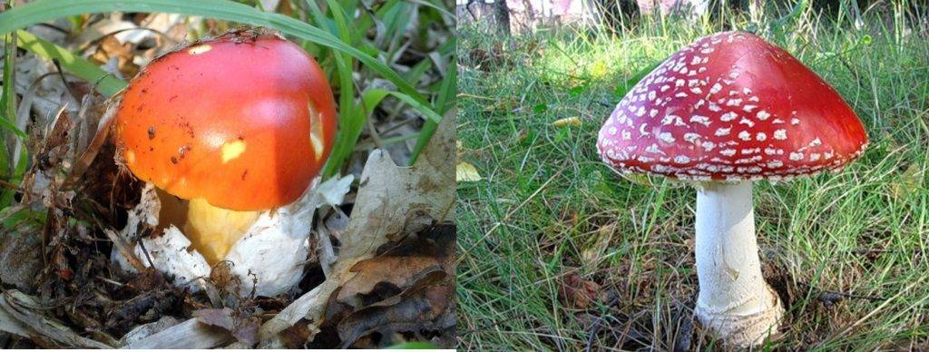 Слева съедобный цезарский гриб, справа ядовитый красный мухомор