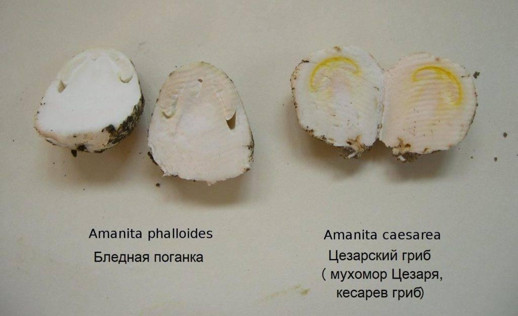 Слева ядовитая бледная поганка в разрезе, справа съедобный мухомор Цезаря