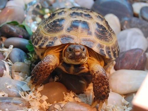 Фото среднеазиатская черепаха картинка