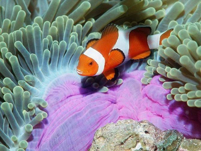 Рыба клоун амфиприон фото картинки