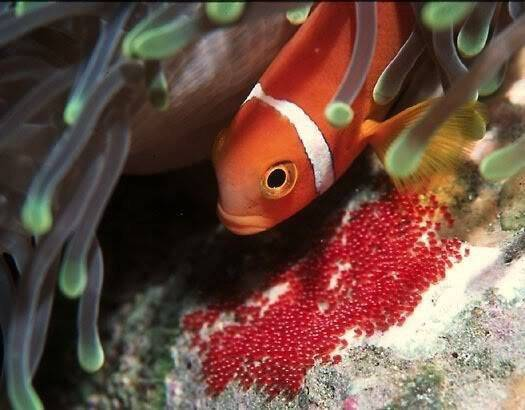 Рыба клоун амфиприон фото