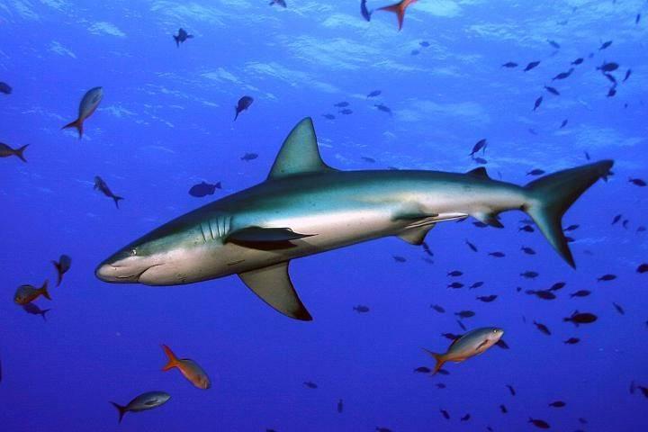 Акула шелковая фото