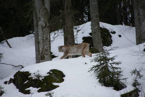 Где обитает рысь фото (лат. Lynx lynx)