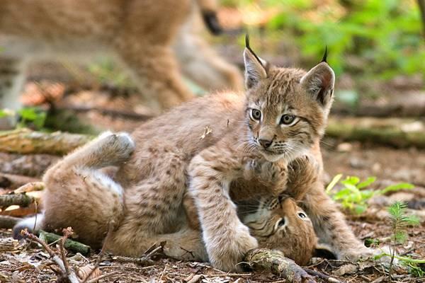 Детеныши обыкновенной рыси фото (лат. Lynx lynx)