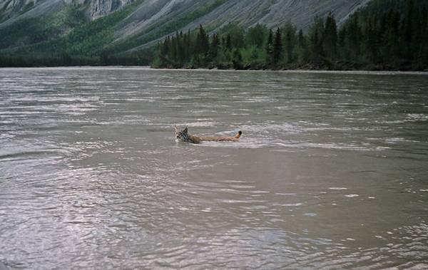 Канадская рысь плывет фото (лат. Lynx canadensis)