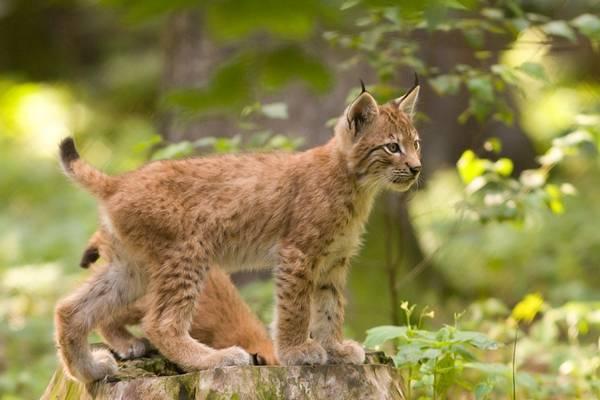 Котенок обыкновенной рыси фото (лат. Lynx lynx)