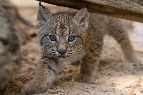 Котенок пиренейской рыси фото (лат. Lynx pardinus)