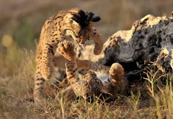 Котята иберийской рыси дерутся фото (лат. Lynx pardinus)