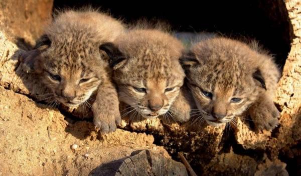 Котята пиренейской рыси фото (лат. Lynx pardinus)