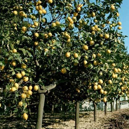 Лимонное дерево плантация фото