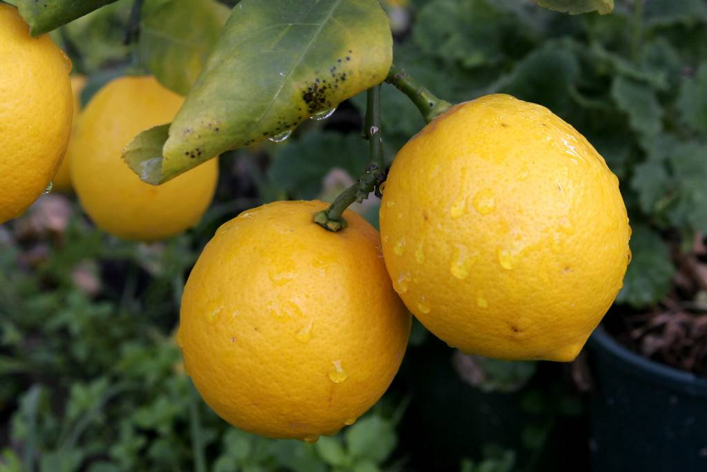 Лимонное дерево с лимоном фото