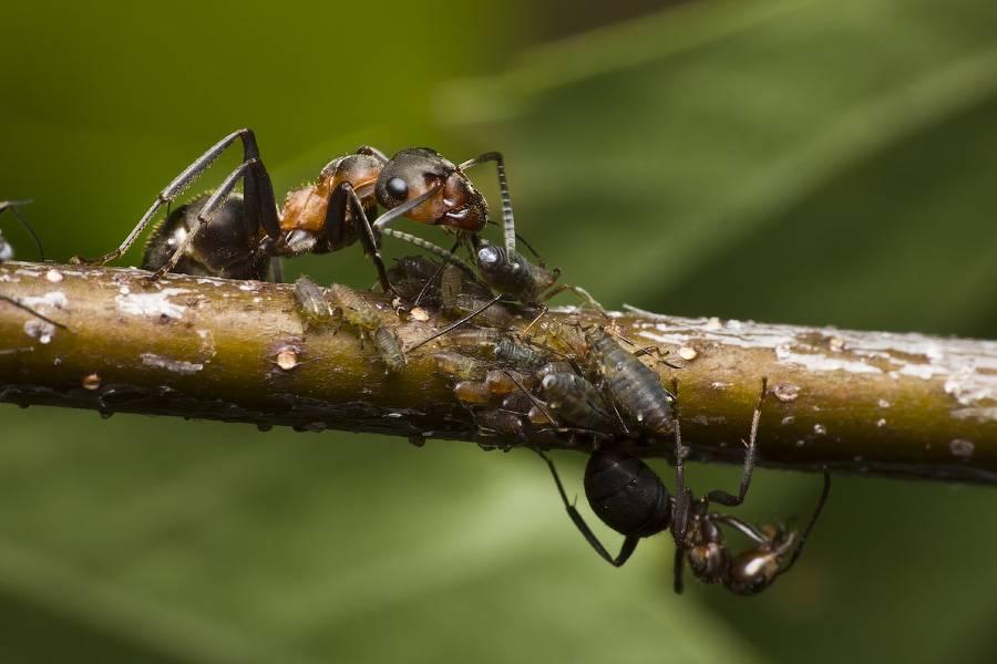 Луговой муравей с добычей фото