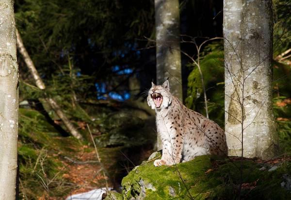 Обыкновенная рысь в лесу фото (лат. Lynx lynx)