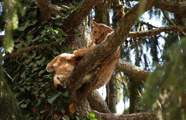 Обыкновенная рысь на дереве фото (лат. Lynx lynx)