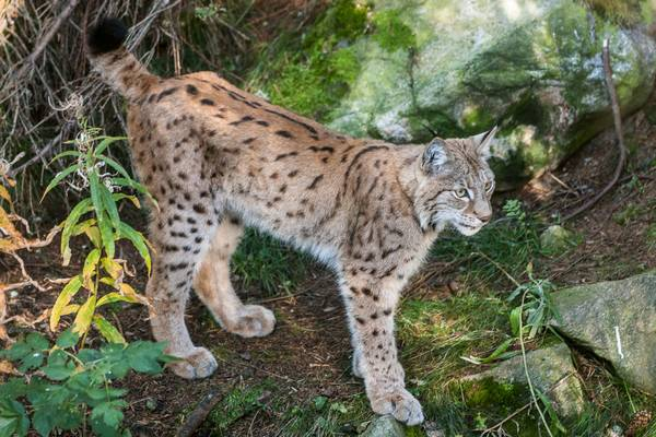 Обыкновенная рысь фото (лат. Lynx lynx)