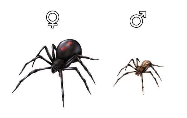 Паук черная вдова (самка и самец) фото