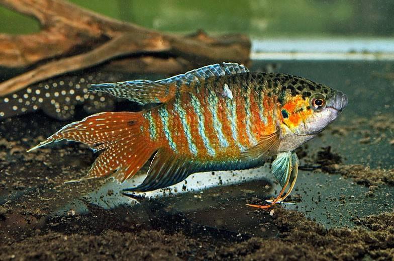Райская рыба макропод фото