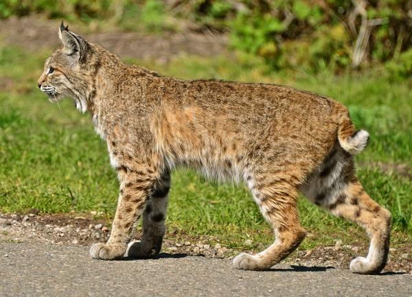 Рыжая (красная) рысь фото (лат. Lynx rufus)