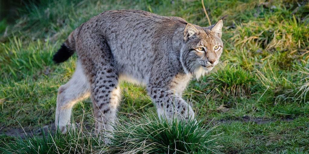 Рысь фото (лат. Lynx rufus)