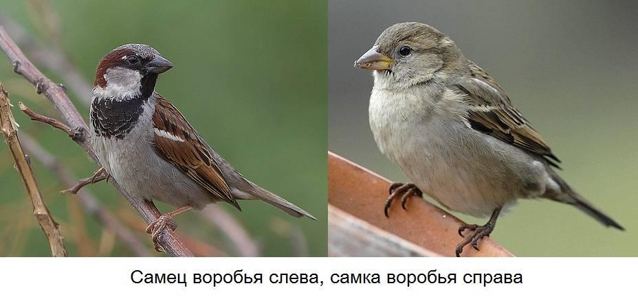 Самец и самка воробья фото