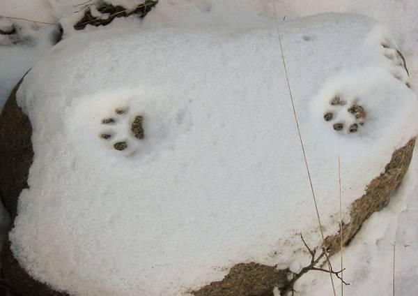 След обыкновенной рыси фото (лат. Lynx lynx)
