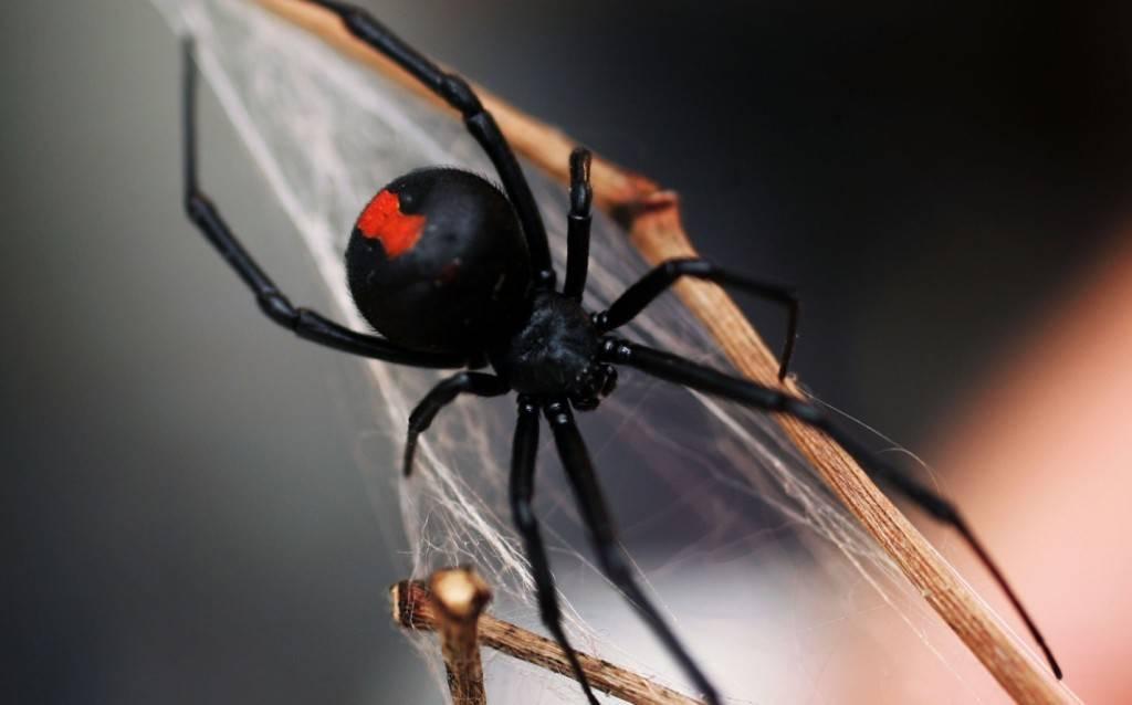Фото паука черная вдова