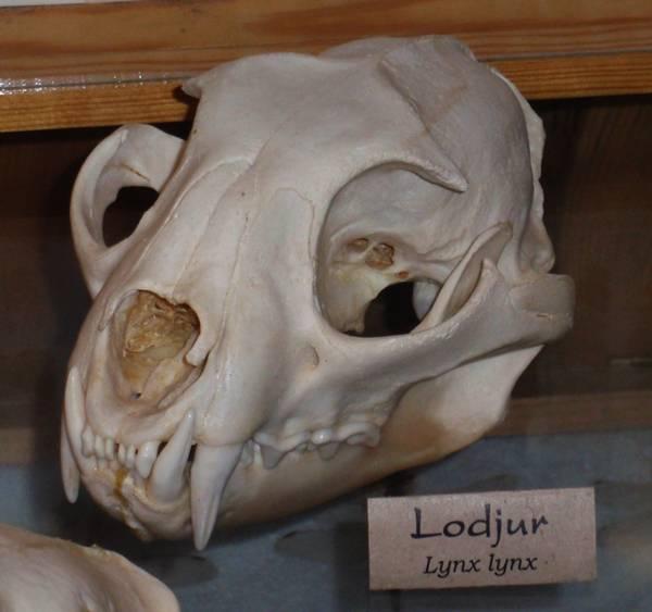 Череп обыкновенной рыси фото (лат. Lynx lynx)