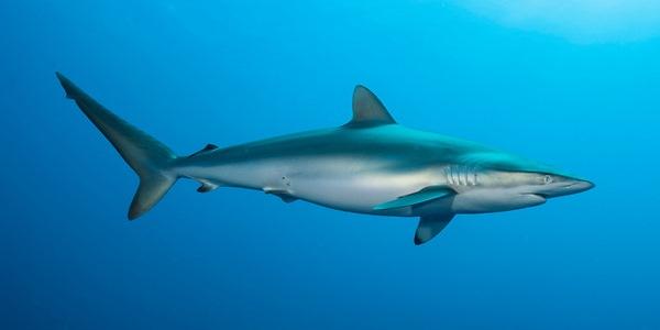 Шелковая акула фото