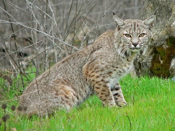 Шерсть рыжей рыси фото (лат. Lynx rufus)