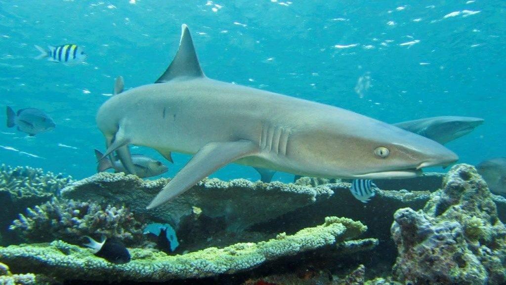 Широкоротая (шелковая) акула
