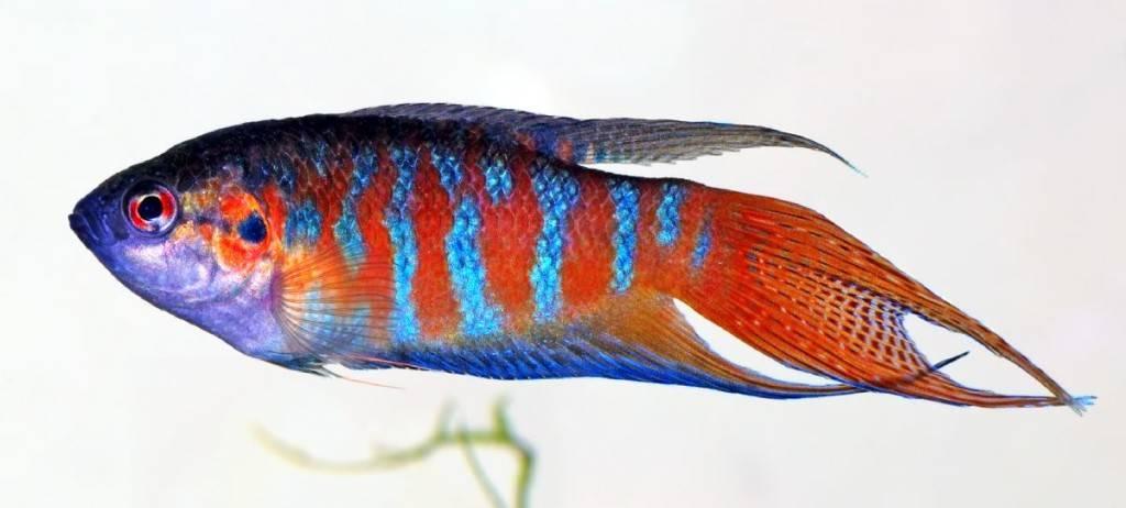 аквариумная рыба макропод фото