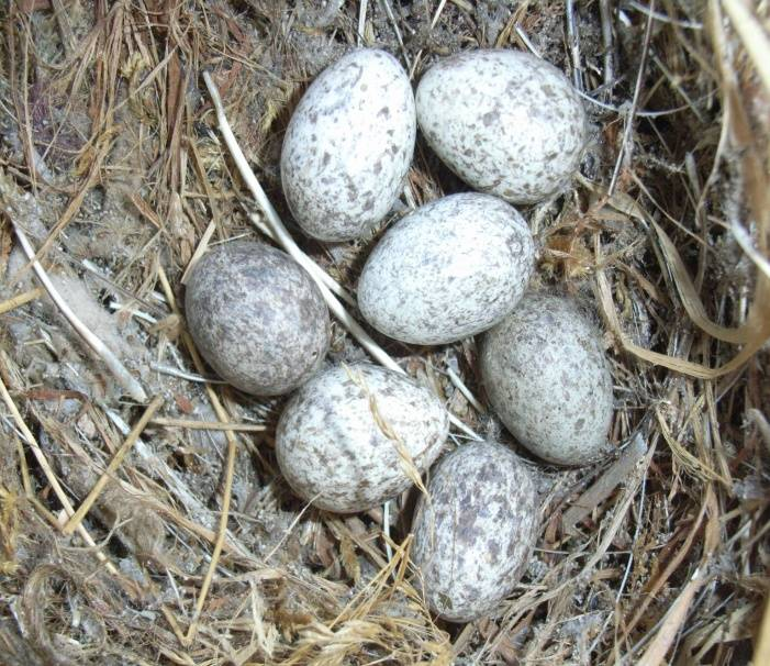Воробьиное гнездо с яйцами фото