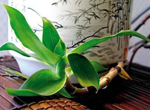 Каллизия душистая (золотой ус) – описание, выращивание, настойка