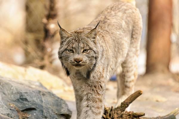 Канадская рысь фото (лат. Lynx canadensis)