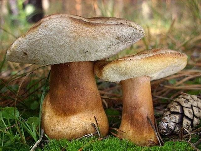 Каштановый гриб фото