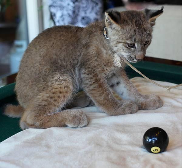 Котенок канадской рыси на поводке фото (лат. Lynx canadensis)