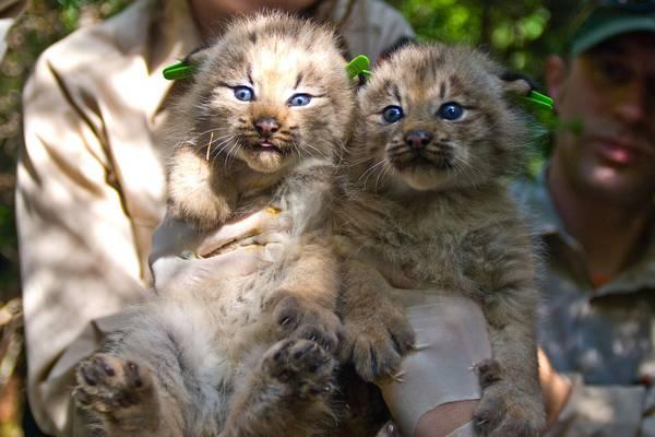 Котята канадской рыси фото (лат. Lynx canadensis)