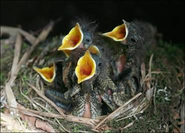 Кричащие птенцы воробьев фото