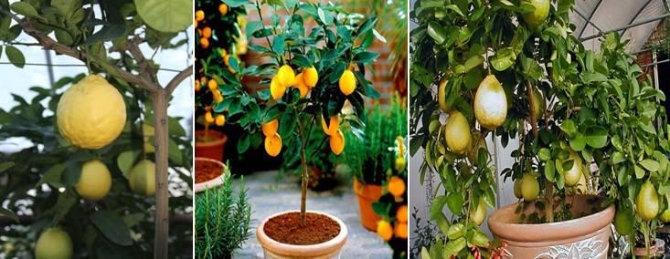 Лимонное дерево виды фото