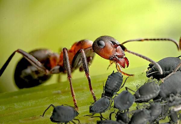 Луговой муравей фото