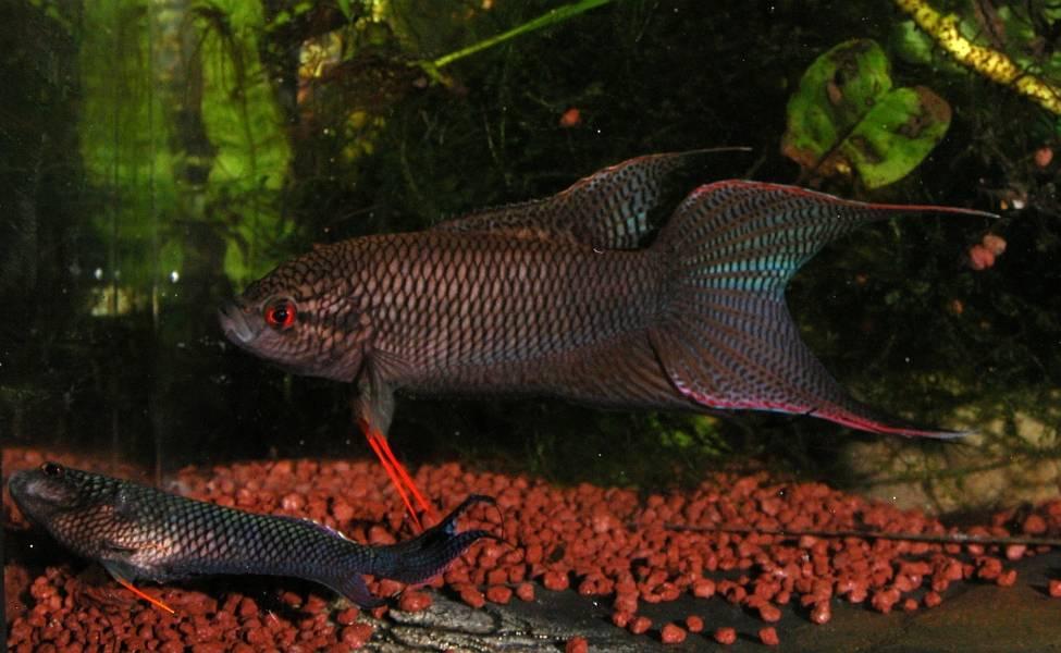 Макропод аквариумная рыба фото