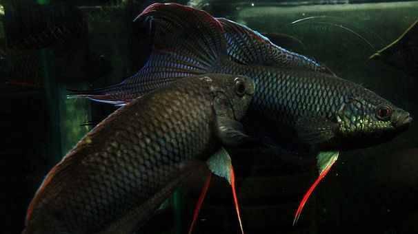Макропод райская рыба фото
