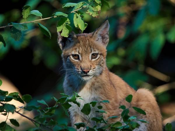 Обыкновенная рысь в зарослях фото (лат. Lynx lynx)