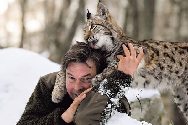 Обыкновенная рысь в зоопарке фото (лат. Lynx lynx)