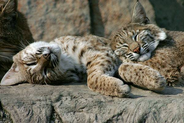 Обыкновенные рыси спят фото (лат. Lynx lynx)